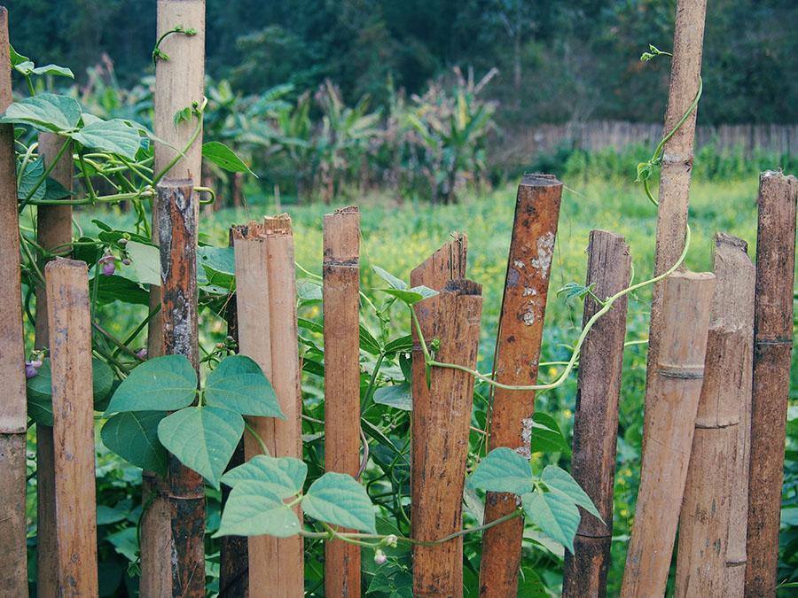 laos hmong potager